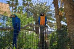 Perroquet d'isolement d'ara dans une cage, captivité images stock