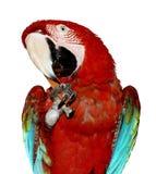 Perroquet d'isolement de Macaw Photos libres de droits