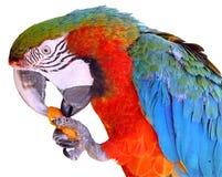 Perroquet d'isolement mangeant le raccord en caoutchouc Photo stock