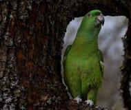 Perroquet dans un arbre Photos stock
