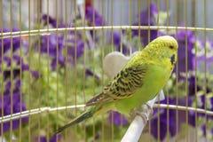 Perroquet dans une cage photographie stock