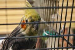 Perroquet dans une cage Tache floue d'effet sur les barres de la cellule photos stock