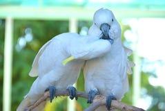 Perroquet de deux blancs embrassant sur une branche d'arbre Image libre de droits