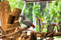 Perroquet de gris africain été perché sur le branchement Image libre de droits