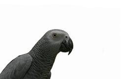 Perroquet de gris africain Image libre de droits
