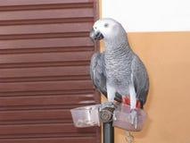 Perroquet de gris africain Photo libre de droits