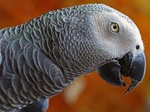 perroquet de gris africain Images libres de droits