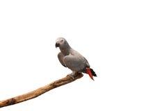 Perroquet de gris africain d'isolement sur le fond blanc Photos libres de droits