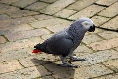 Perroquet de gris africain - sur la prise de masse Images libres de droits