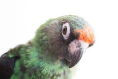 Perroquet de Jardine Photos stock