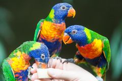 Perroquet de Lorikeet d'arc-en-ciel Images stock
