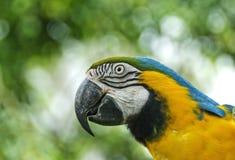 Perroquet de Macaw Photos stock