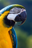 Perroquet de Macaw Images stock