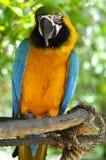 Perroquet de Macaw photo libre de droits