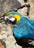Perroquet de Macaw de bleu et d'or photos libres de droits