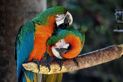 Perroquet de macaw de bleu et d'or Photographie stock