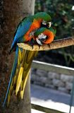 Perroquet de macaw de bleu et d'or Images stock
