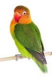 Perroquet de perruche de Fischeri Photo libre de droits
