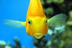 Perroquet de poissons Image libre de droits