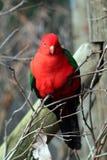Perroquet de roi de l'Australie Photographie stock libre de droits