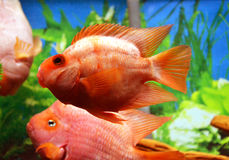 Perroquet de rouge de Cichlids Photographie stock libre de droits