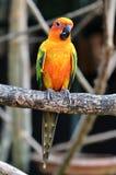 Perroquet de Sun Conure Photo stock