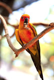 Perroquet de Sun Conure Photos libres de droits
