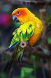 Perroquet de Sun Conure Image libre de droits