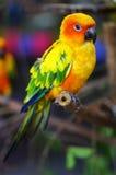 Perroquet de Sun Conure Images libres de droits
