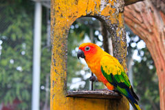 Perroquet de Sun Conure, perroquet de Sun Conure Images stock