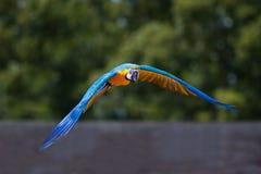 Perroquet de vol Images libres de droits