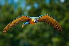Perroquet de vol Photos stock
