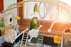 Perroquet drôle de perruche à la grande cage sur le rooom avec le soleil Photo stock