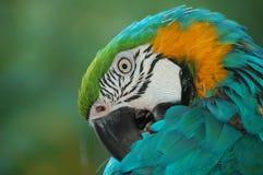 Perroquet du dos Photos libres de droits