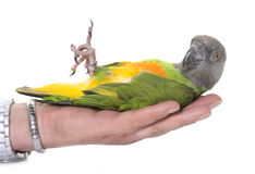 Perroquet du Sénégal dans le studio photo stock