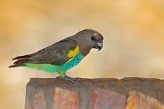 Perroquet du ` s de Meyer, oiseau exotique de meyeri de Poicephalus, vert et gris se reposant sur l'arbre, Botswana, Afrique Scèn photo stock