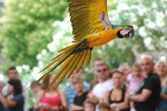 Perroquet en vol, oiseau exotique image libre de droits