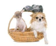 Perroquet et chiwawa gris de bébé Photographie stock