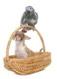 Perroquet et chiwawa gris de bébé Photo libre de droits