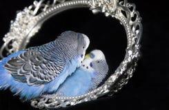 Perroquet et miroir Photos stock