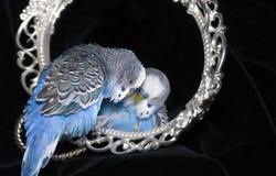 Perroquet et miroir Photo stock
