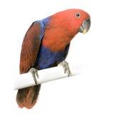 Perroquet femelle d'Eclectus Photographie stock libre de droits