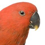 Perroquet femelle d'Eclectus image libre de droits