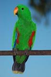 Perroquet femelle d'eclectus photo libre de droits