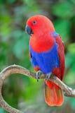 Perroquet femelle d'eclectus Photographie stock
