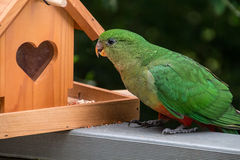 Perroquet femelle de roi Photo stock