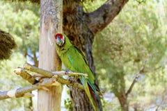 Perroquet gratuit d'ara se reposant sur un arbre en parc Photographie stock libre de droits