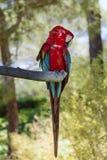 Perroquet gratuit d'ara se reposant sur un arbre en parc Photo stock