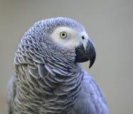 Perroquet gris Photo libre de droits