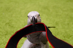 Perroquet gris Photos libres de droits